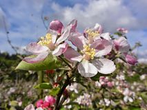 Colorful apple blossoms in spring royalty free stock photos