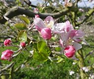 Colorful apple blossoms in spring royalty free stock photography