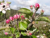 Colorful apple blossoms in spring stock photo