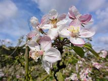 Colorful apple blossoms in spring stock photos