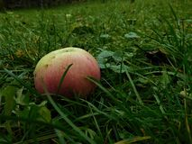 The colorful apple throw down into grass from some tree Royalty Free Stock Image