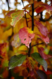 Colorful apple tree leaves Royalty Free Stock Photos