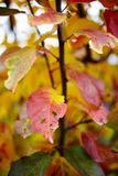 Colorful apple tree leaves Royalty Free Stock Image