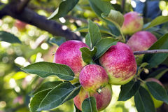 Colorful apples on a tree branch in an english garden Stock Photo