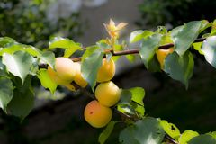 Colorful apricots tree Royalty Free Stock Images
