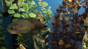 Colorful aquarium. Beautiful fish swimming in a home aquarium. Fish Astronotus ocellatus teen swims the aquarium. Exotic fish In tropical South America swims stock video footage