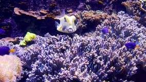 Colorful aquarium, beautiful fish swimming in ocean corals stock video footage