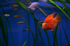 Colorful aquarium fish. A view of several varieties of small aquarium fish swimming around long blades of grass in an blue aquarium Royalty Free Stock Photo