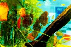 Colorful aquarium fish in aquarium. Green and orange fish. Stock Photos