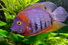 Colorful aquarium fish. On a background of green vegetation Stock Photography