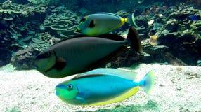 Colorful aquarium fishes Royalty Free Stock Photo