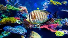 Colorful aquarium. 4k, 25fps. Colorful aquarium, beautiful parrot fish swimming in ocean corals. Slow motion 4K footage stock video