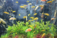 Colorful in aquarium Stock Photography