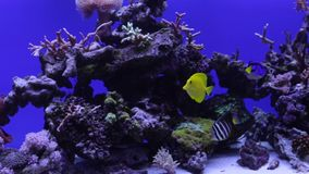 Colorful aquarium, showing different colorful fishes swimming stock footage