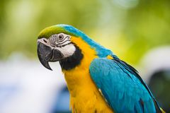 Blue and gold macaw - Ara ararauna - Colorful Parrot. Blue-and-gold macaw - ara parrot with blurred background Stock Photography