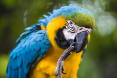 Blue and gold macaw - Ara ararauna - Colorful Parrot - scratching with claw. Blue-and-gold macaw - ara parrot with blurred Background Scratching beak Stock Photos