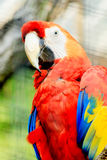 Colorful Ara parrot. Portrait of a colorful ara parrot Stock Images