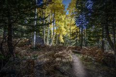 Colorful Arizona hiking trail among quaking aspen in autumn Royalty Free Stock Image