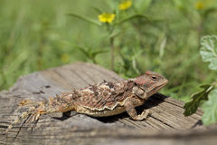 Colorful Arizona Horned Toad Royalty Free Stock Photography