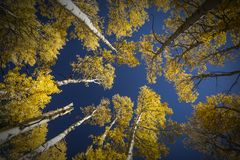 Colorful Arizona quaking aspen in autumn. Colorful Arizona quaking aspen and pine forest in autumn along the Kachina Trail near Flagstaff. Looking straight up stock image