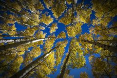 Colorful Arizona quaking aspen in autumn Royalty Free Stock Photo