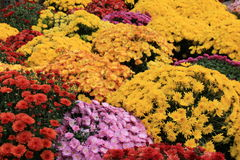 Colorful arrangement of Fall mums Stock Image
