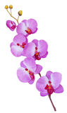 Colorful artificial orchid flowers isolated on white background Royalty Free Stock Images