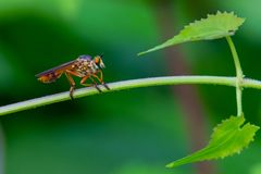 Colorful Asilidae robber fly perching on climbing plant stem royalty free stock photos