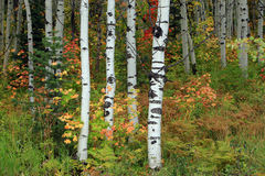 Colorful aspen background Royalty Free Stock Image