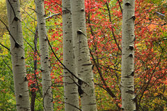 Colorful aspen background. Royalty Free Stock Photo