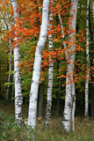 Colorful Aspen Birch Tree. In the wildness Stock Images