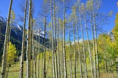 Colorful aspen during foliage season Royalty Free Stock Photography