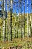 Colorful aspen during foliage season Stock Image