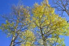 Colorful aspen during foliage season Royalty Free Stock Photo