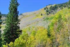 Colorful aspen during foliage season Stock Images
