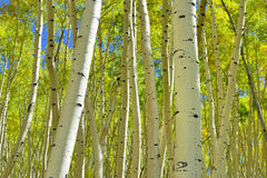 Colorful aspen in the forest during foliage season Royalty Free Stock Photo