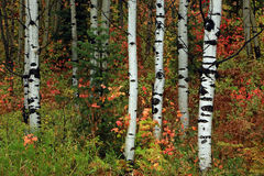 Colorful aspen grove in the Rocky Mountains. Royalty Free Stock Image