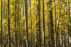 Colorful Aspen Grove Royalty Free Stock Images