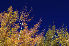 Colorful Aspen Pines Stock Photos