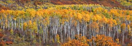 Colorful Aspen trees Stock Photo