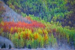 Colorful Aspen trees Stock Photos