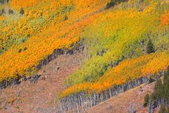Colorful Aspens Royalty Free Stock Photo