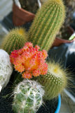 Colorful assorted cactus Royalty Free Stock Image