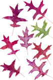 Colorful assortment of fall Oak leaves Stock Photos