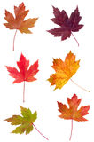 Colorful assortment of Maple Leaves Stock Photos