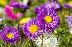 Colorful Aster flowers. In meadow Royalty Free Stock Photo