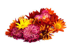Colorful asters. Stock Images