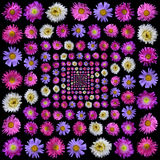 Colorful asters flower isolated on black Royalty Free Stock Images