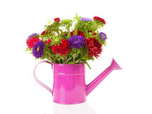 Colorful Asters flowers in pink watering can Royalty Free Stock Photos