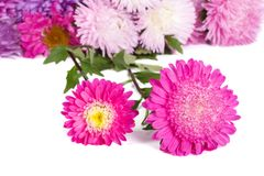 Colorful asters isolated on white Stock Photography